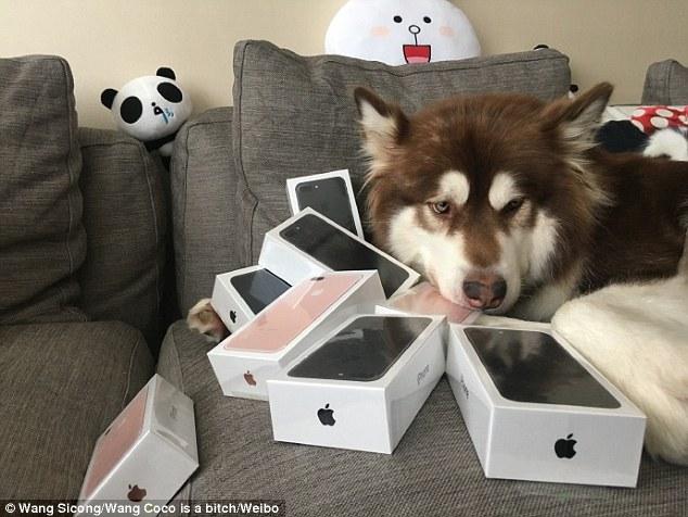 رجل يشتري أجهزة آيفون 7 ليهديها لكلبه !  رجل يشتري أجهزة آيفون 7 ليهديها لكلبه !  رجل يشتري أجهزة آيفون 7 ليهديها لكلبه !  رجل يشتري أجهزة آيفون 7 ليهديها لكلبه !