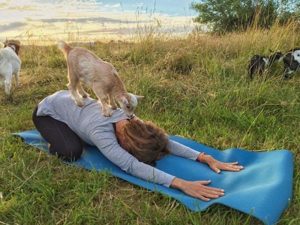 اليوغا مع الخراف