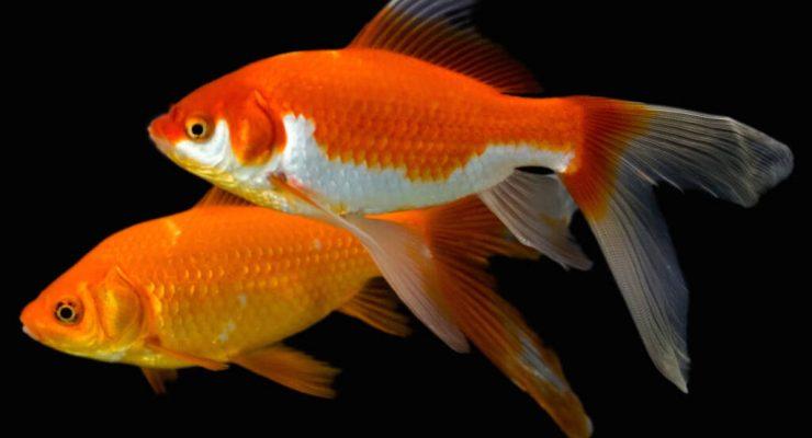 لماذا يتغير لون سمك الزينة للون الأبيض مع مرور الوقت؟