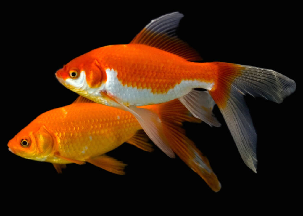 why goldfish turning white