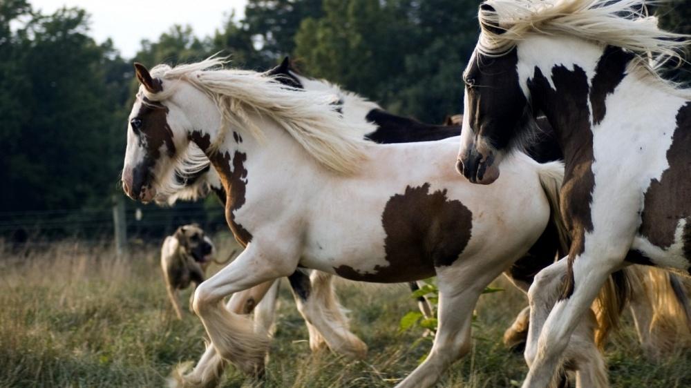 حصان بنتو