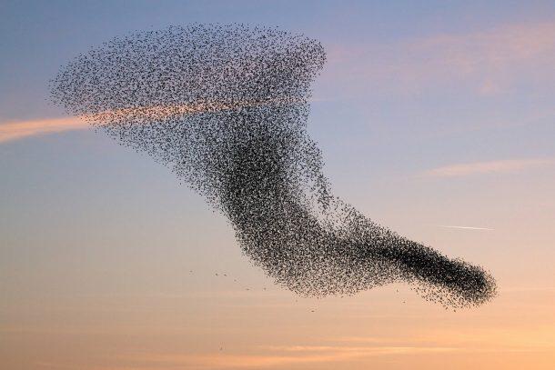 لا تتصادم الطيور أثناء الطيران