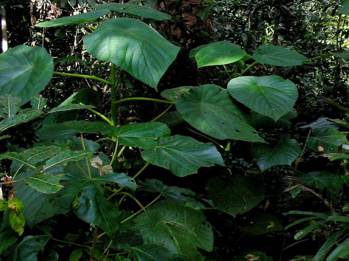 نبات جيمبي جيمبي