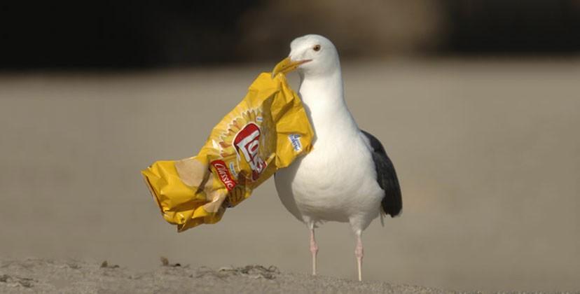 الطيور البحرية تأكل القطع البلاستيكية