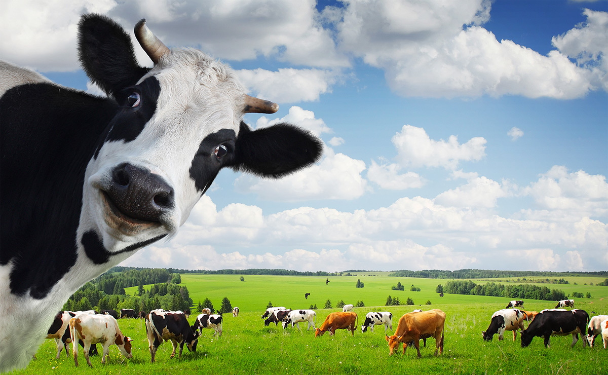 cows global warming