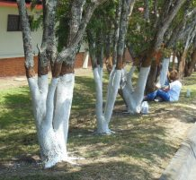 painting tree trunks white
