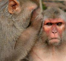 Monkeys could talk