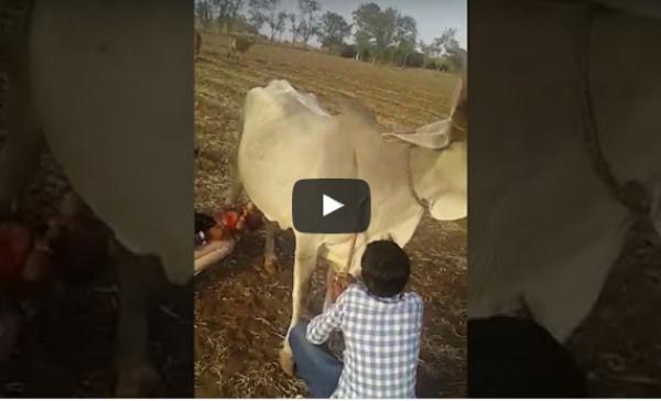 فيديو: بزر يرضع من بقرة + راعي قطار طالب من مطعم والمزيد!