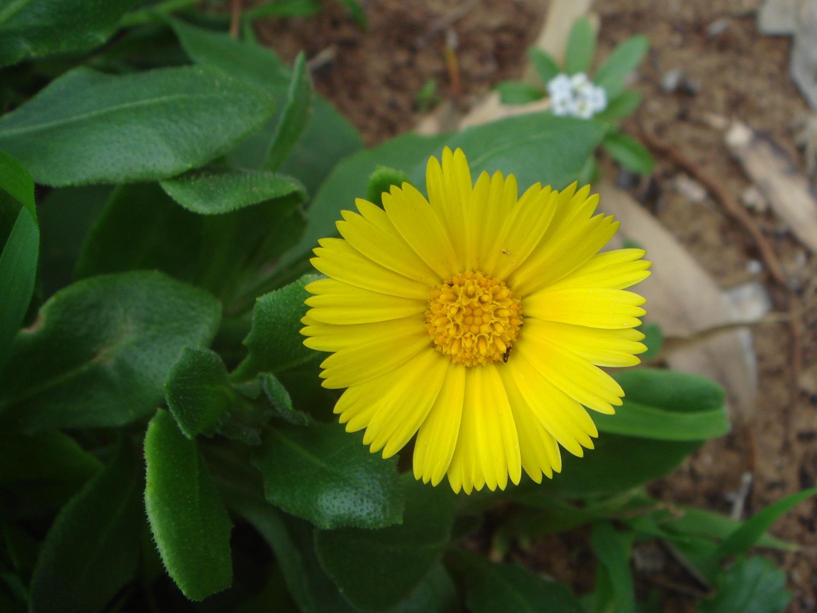 زهرة البكورية