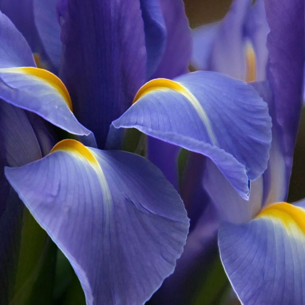 زهرة السوسن