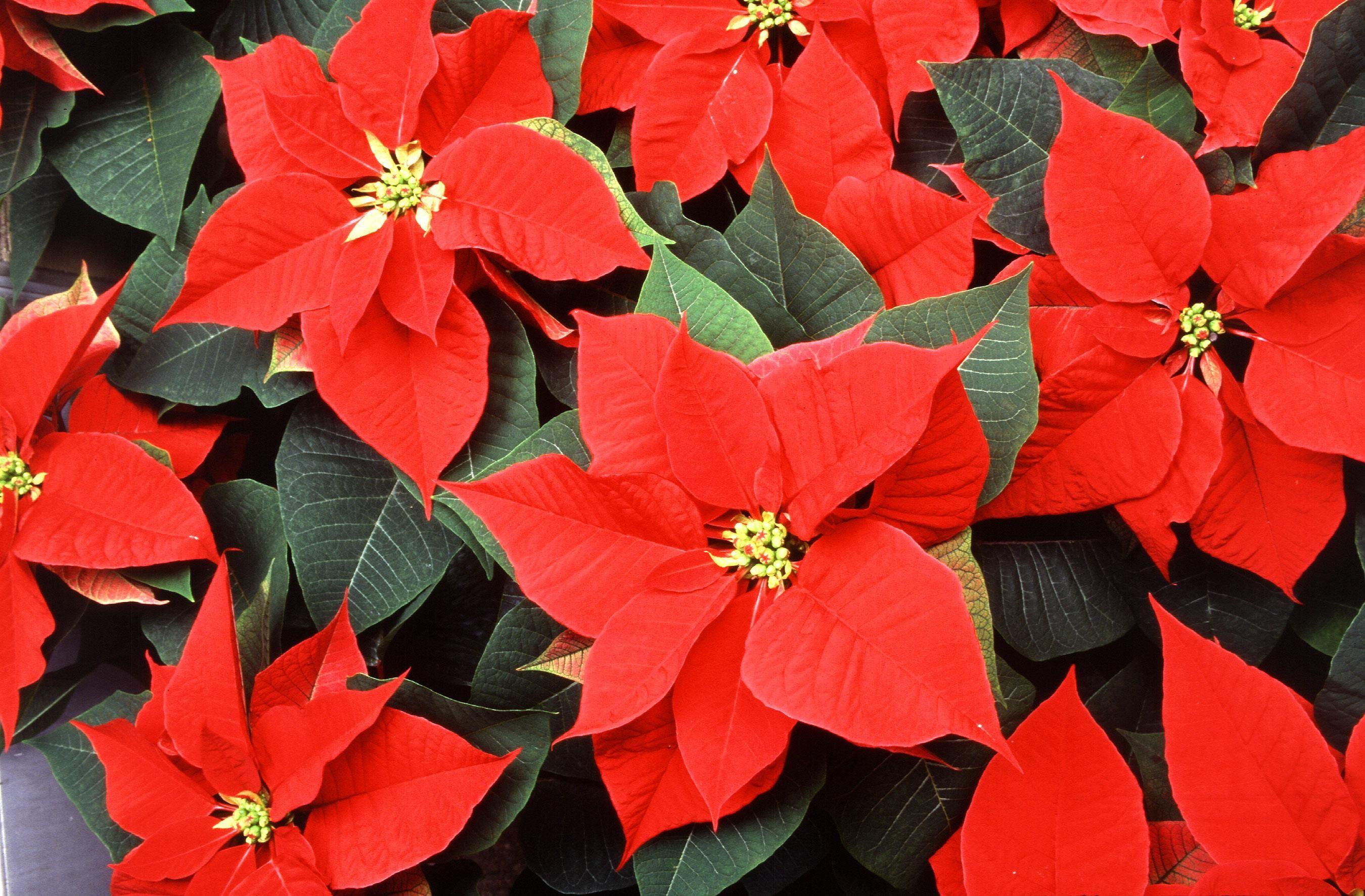 زهرة الكريسماس