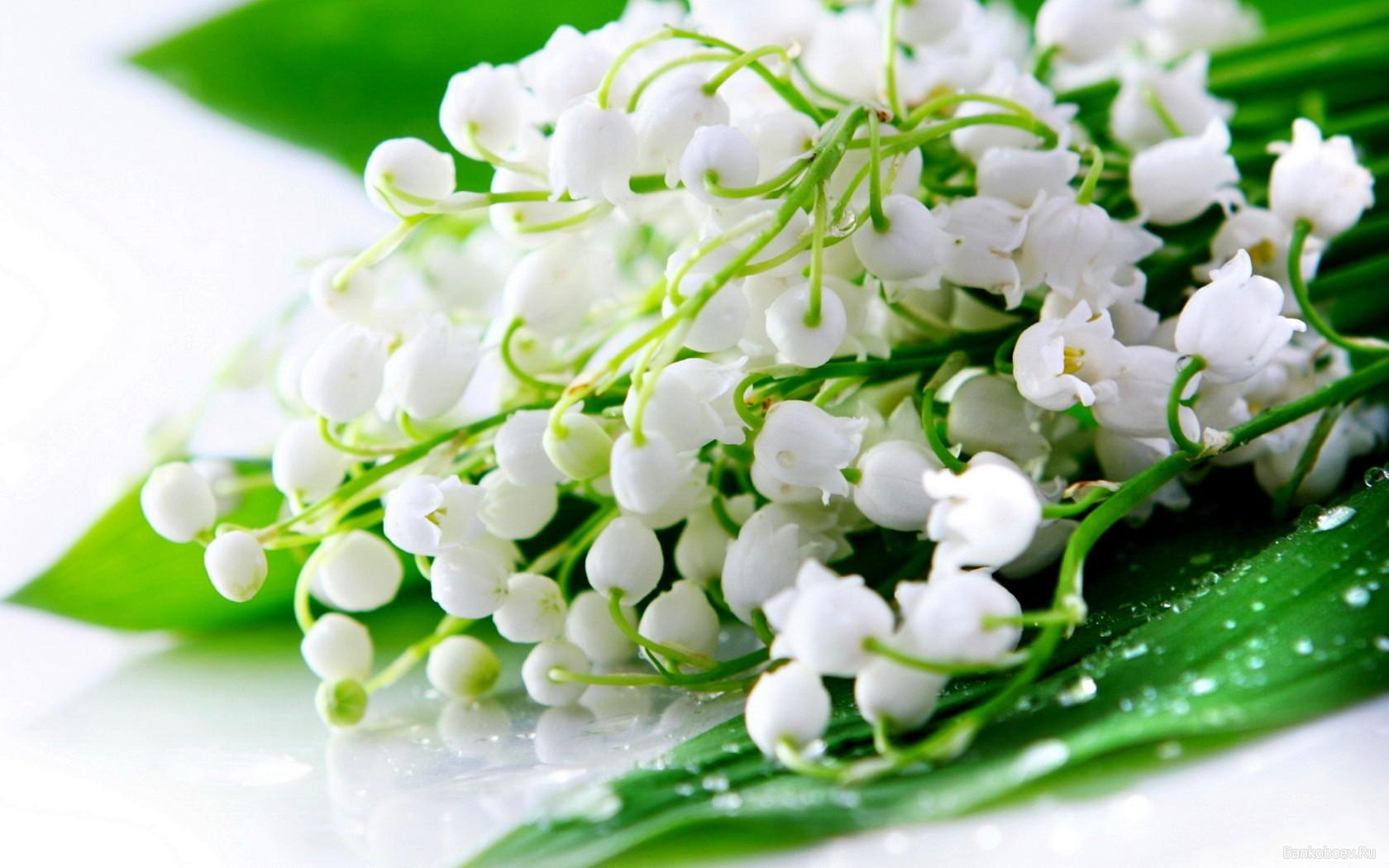 زهرة زنبق الوادي