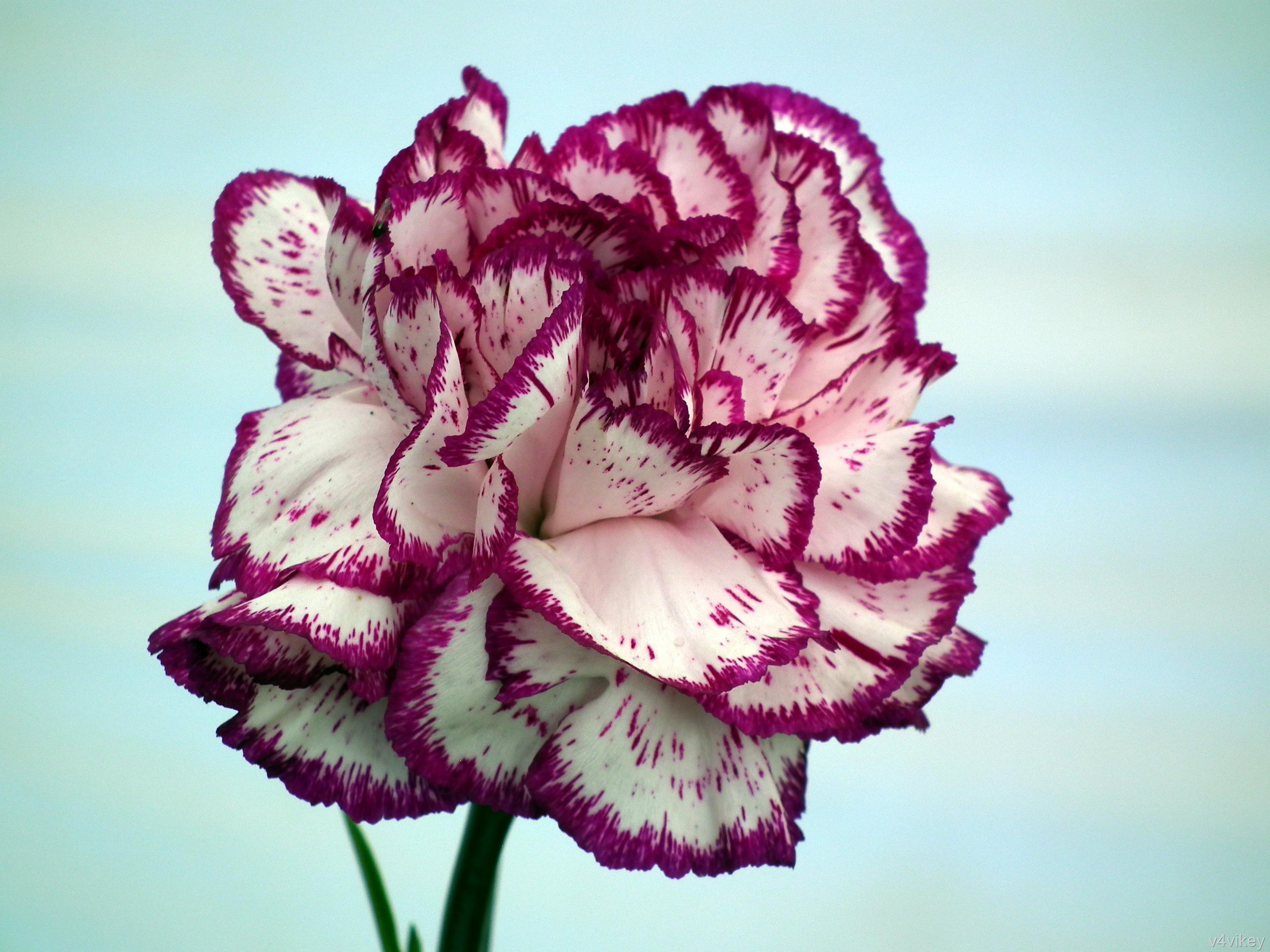 علم الأزهار زهرة كارنيشن