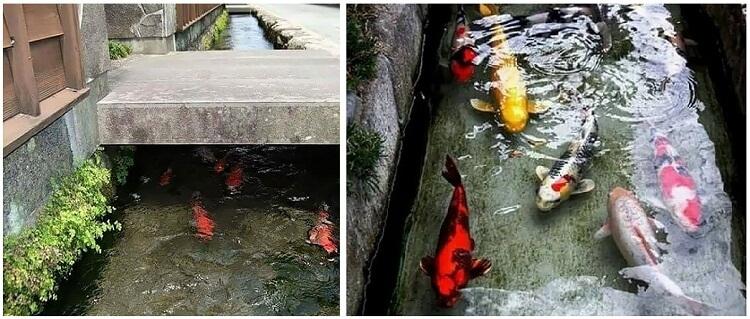 منوعات: أسماك في قنوات التصريف الصحي في اليابان لشدة نظافتها!