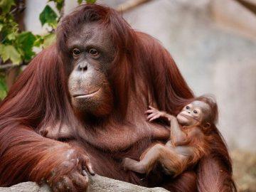 القرد في عين أمه غزال