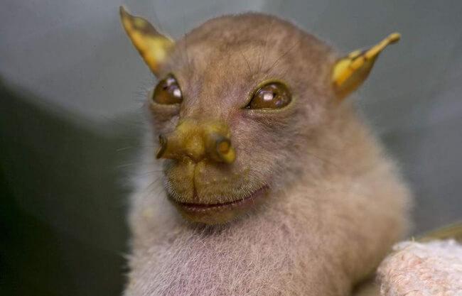 خفاش الفاكهة أنبوبي الأنف