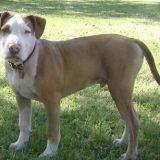 American-Pit-Bull-Terrier