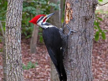 طائر نقار الخشب
