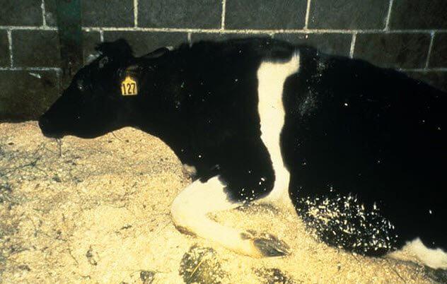 مرض جنون البقر