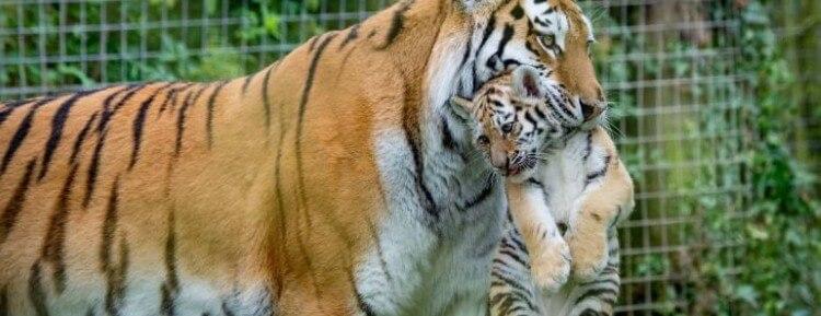 لماذا بعض الحيوانات تفترس صغارها؟