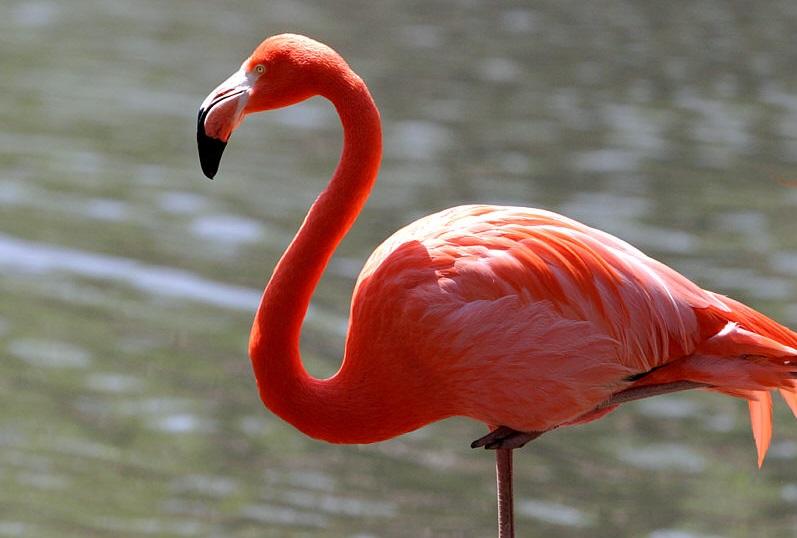 لماذا طيور الفلامينغو تقف على ساق واحدة؟