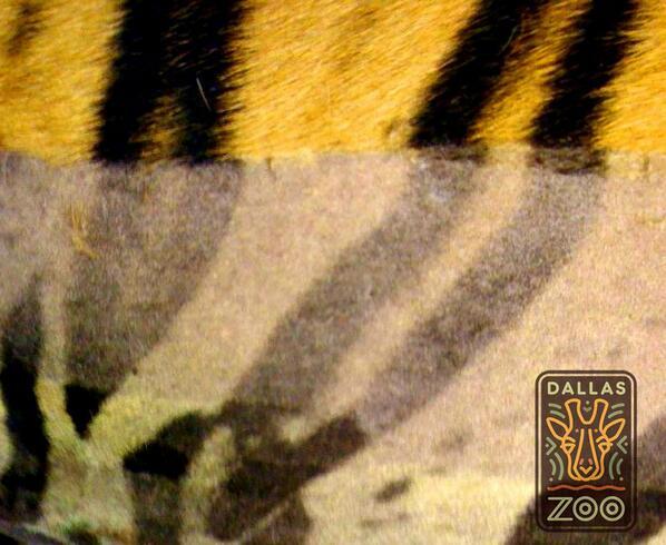 جلد النمر
