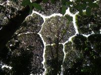 خجل الأشجار