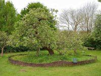 شجرة التفاح نيوتن