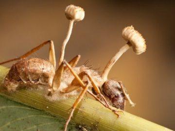 فطر يحول النمل إلى زومبي