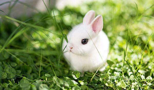 أرنب هولندي
