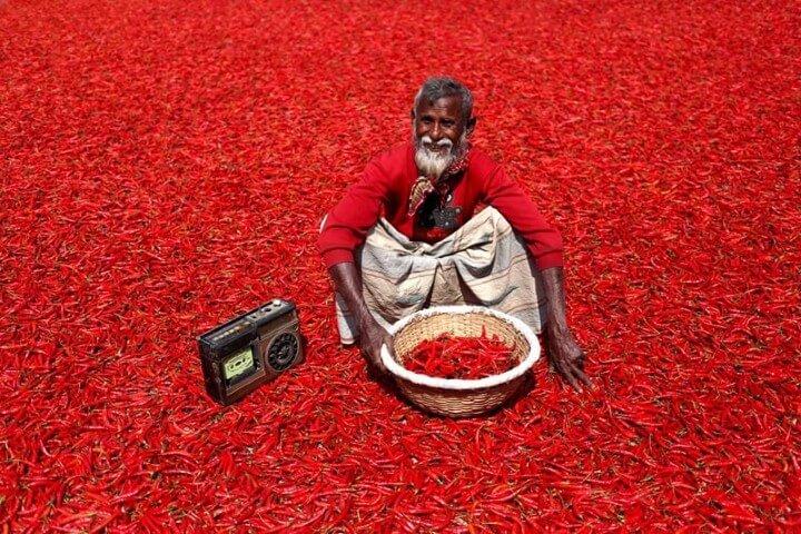 حقول الفلفل الأحمر