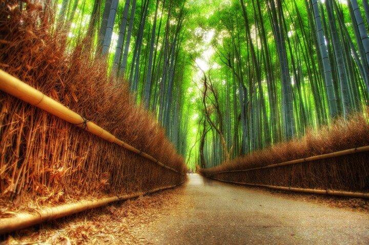 غابة الخيزران