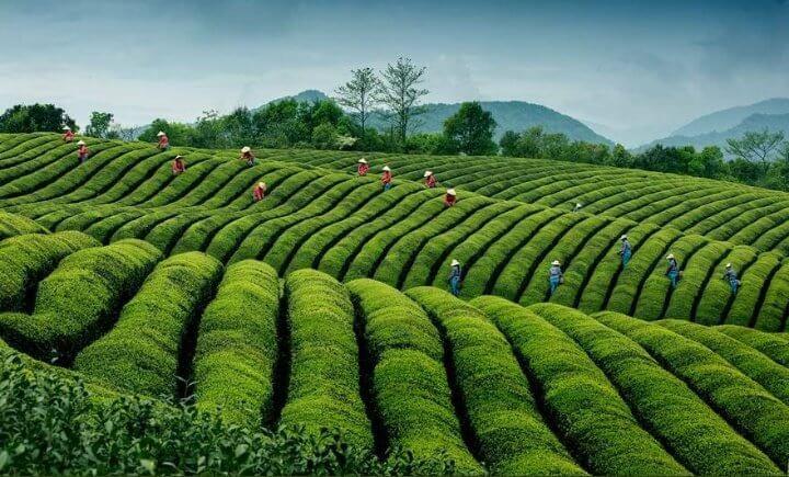 مزرعة شاي