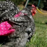 حفاضات الدجاج