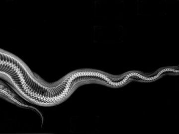 صور الحيوانات الأشعة السينية