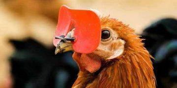 نظارات الدجاج