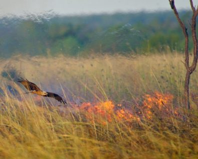 طيور النار و حرائق أستراليا