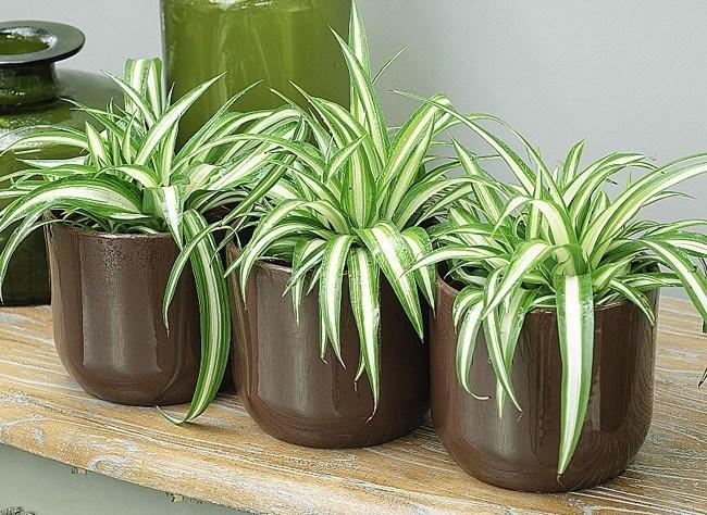نبات العنكبوت