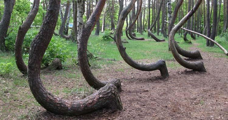 غابة أشجار ملتوية